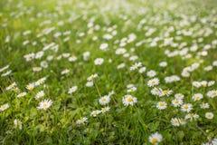 Le margherite che tremano su una molla leggera breeze un giorno soleggiato Immagine Stock Libera da Diritti