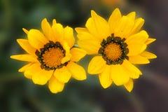 Le margherite gialle riposano e prendono il sole nel sole caldo rami del crisantemo cinese giallo su un fondo isolato verde scuro fotografia stock