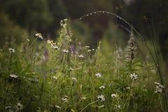 Le margherite nella pioggia di estate sistemano immagine stock