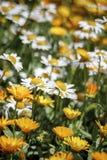 Le margherite in un prato sono sbocciato fra i fiori gialli Immagine Stock Libera da Diritti