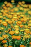 Le margherite in un prato sono sbocciato fra i fiori gialli Fotografia Stock Libera da Diritti