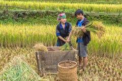 Le mari et l'épouse moissonnent le riz dans la campagne Images stock