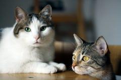 Le mariage du chat Photo libre de droits
