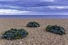 Le maritima de crambe de chou marin plante l'élevage sur la plage Photos libres de droits