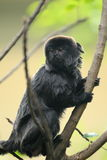 Le marmoset de Goeldi Photo libre de droits