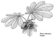 Le marron d'Inde porte des fruits et part de l'illustration, dessin, gravure, encre, schéma, vecteur illustration de vecteur