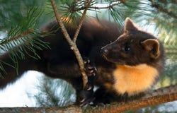 Le martes européen de Martes de martre de pin image libre de droits