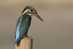 Le martin-pêcheur Images libres de droits