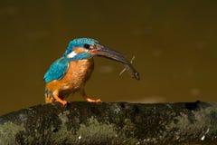 Le martin-pêcheur Photo libre de droits