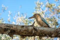 Le martin-pêcheur bleu-s'est envolé le martin-chasseur sur une branche d'arbre à la gorge de Katherine, Australie Images stock
