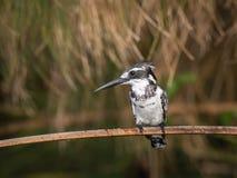 Le martin-pêcheur pie, rudis de Ceryle est se reposant et posant sur le bâton, fond vert pittoresque stupéfiant, pendant le matin image stock