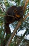 Le martre de pin européen (martes de Martes), connu le plus généralement comme martre de pin en Europe anglophone, et moins génér images stock