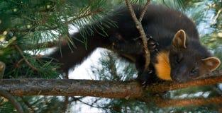 Le martre de pin européen (martes de Martes), connu le plus généralement comme martre de pin en Europe anglophone, et moins génér image libre de droits