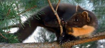 Le martre de pin européen (martes de Martes), connu le plus généralement comme martre de pin en Europe anglophone, et moins génér photographie stock libre de droits