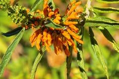Le marube branche sur table d'écoute, les insectes oranges de piqûre alimentant sur les fleurs sauvages de chanvre, photographie stock libre de droits