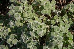 Le marube commun, une plante médicinale, également appelée l'herbe médicinale, photo libre de droits