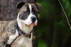 Le mastiff bringé et blanc de boxeur a mélangé le chien de race Image libre de droits