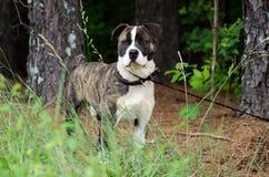 Le mastiff bringé et blanc de boxeur a mélangé le chien de race Photos stock