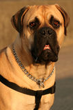 Le Mastiff de Bull Photographie stock