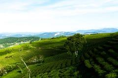 Le matin à la ferme de thé de Cau Dat au lat du DA, le Vietnam images stock