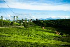 Le matin à la ferme de thé de Cau Dat au lat du DA, le Vietnam images libres de droits