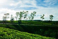 Le matin à la ferme de thé de Cau Dat au lat du DA, le Vietnam photos libres de droits