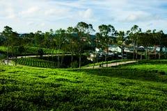 Le matin à la ferme de thé de Cau Dat au lat du DA, le Vietnam image stock