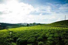 Le matin à la ferme de thé de Cau Dat au lat du DA, le Vietnam photographie stock