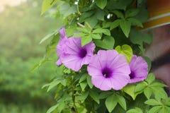 Le matin Glory Flower est fleur dans le jardin images libres de droits