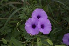 Le matin Glory Flower est fleur dans le jardin image libre de droits