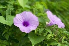 Le matin Glory Flower est fleur dans le jardin photos stock