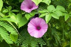 Le matin Glory Flower est fleur dans le jardin photo libre de droits
