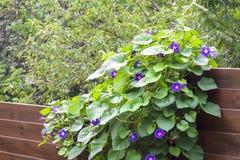 Le matin Glory Ipomoea fleurit la barrière en bois ascendante de ficelle Photos libres de droits