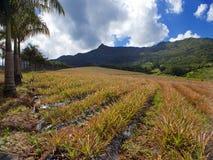 Le Mauritius. Piantagioni degli ananas in un terreno collinoso. Paesaggio in un giorno soleggiato Fotografia Stock