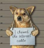 Le mauvais chien a mâché le câble 2 d'Internet photographie stock