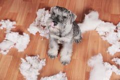 Le mauvais chiot mignon vilain de schnauzer a fait un désordre à la maison, jouet détruit de peluche Le chien est maison seule photographie stock