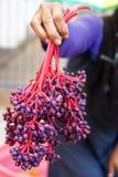 Le Medinilla d'usine de Parijoto, espèces peut être trouvé sur le bâti Muria dans la régence de Kudus, Java-Centrale, Indonésie Photo libre de droits
