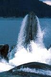 Le megattere danno una stoccata l'alimentazione (megaptera novaeangliae), Alaska, Fotografia Stock Libera da Diritti