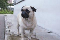 Le meilleur ami de l'homme, animal familier, chien drôle, animal intelligent, Photographie stock libre de droits