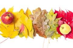 Le mele appetitose si trovano sopra il numero delle foglie cadute Immagine Stock
