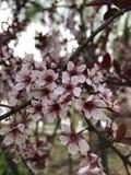 Le mele bianche sono in fioritura fotografie stock