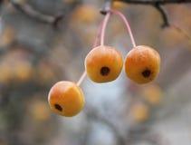 Le mele di granchio gialle di autunno si chiudono su su fondo grigio Fotografia Stock