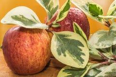 Le mele ed i rami rossi gialli con le grandi foglie gialle verdi si trovano coperto di gocce di acqua su una tavola di legno, com Fotografia Stock