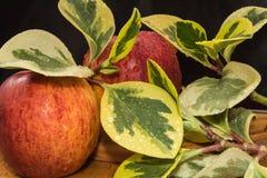 Le mele ed i rami rossi gialli con le grandi foglie gialle verdi si trovano coperto di gocce di acqua su una tavola di legno Immagini Stock