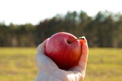 le mele fresche succose Giallo-rosse si trovano su un fondo verde frutta fresca dal giardino Tenga una mela in vostra mano Dieta immagini stock libere da diritti