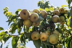 Le mele gialle mature di Pingo Lee di cinese appendono la n un ramo fra le foglie verdi fotografie stock libere da diritti