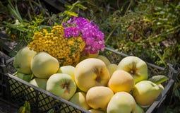 Le mele gialle mature sono dolci con i fiori nel canestro per il raccolto Immagine Stock Libera da Diritti