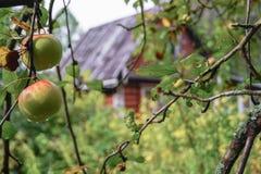 Le mele mature in gocce di pioggia su di melo si ramificano Fotografia Stock