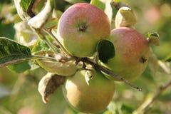 Le mele mature stanno appendendo sugli alberi nel frutteto Immagini Stock