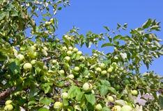 Le mele non mature sulle filiali dell'mela-albero Fotografie Stock